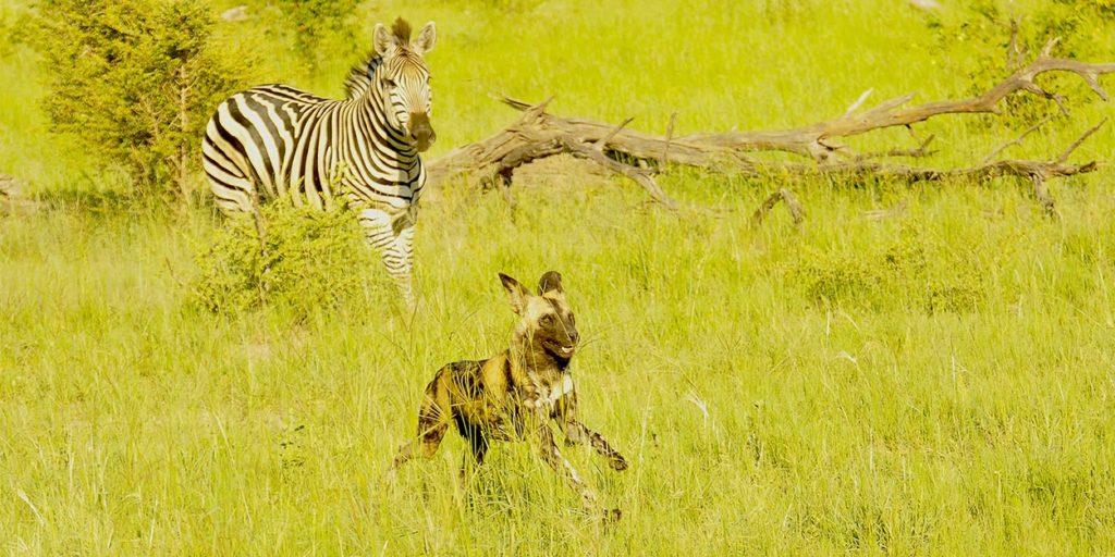 African wild dog on safari.