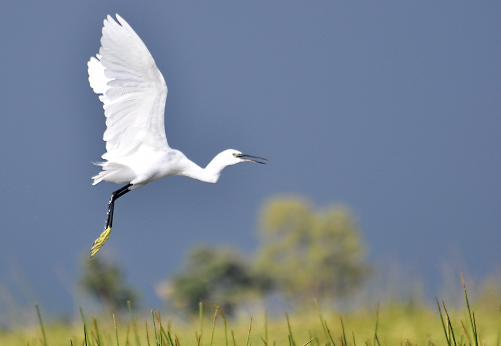 Okavango Little Egret