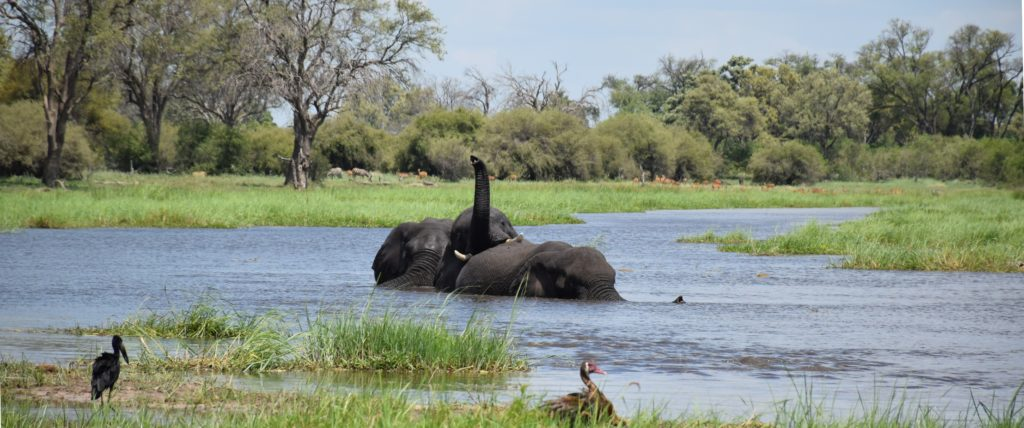 Okavango boating safari elephants swimming