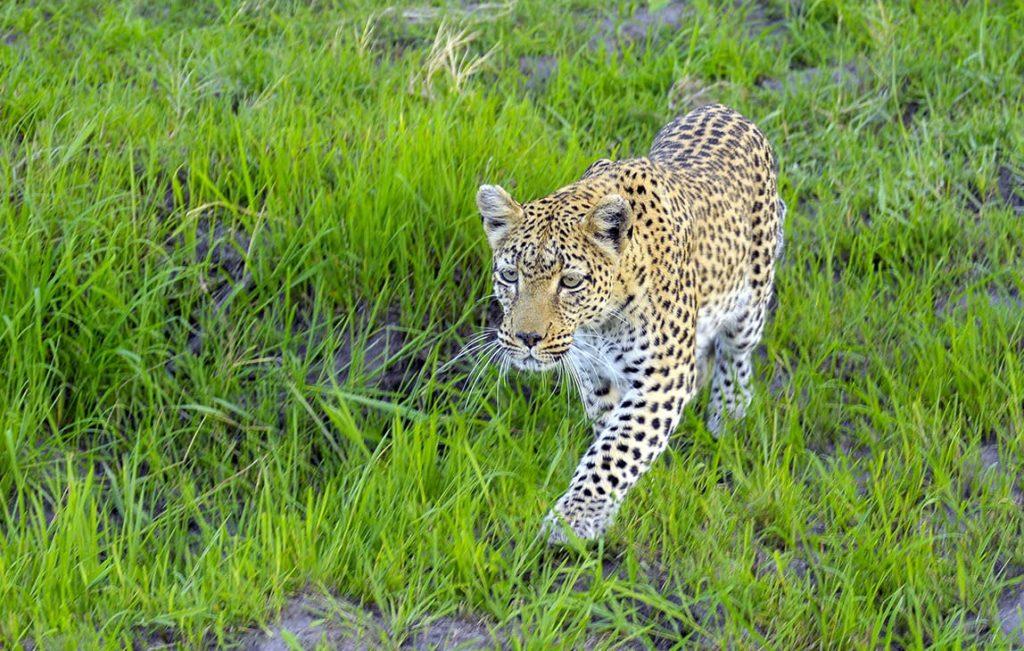 Leopard stalking Cheryl review