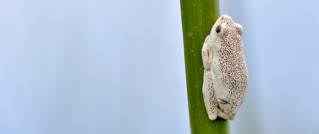 Painted reed frog from mokoro