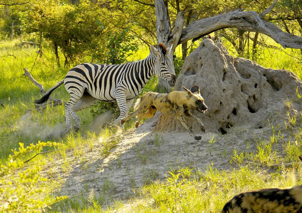 Zebra chasing Wild dog Cheryl review