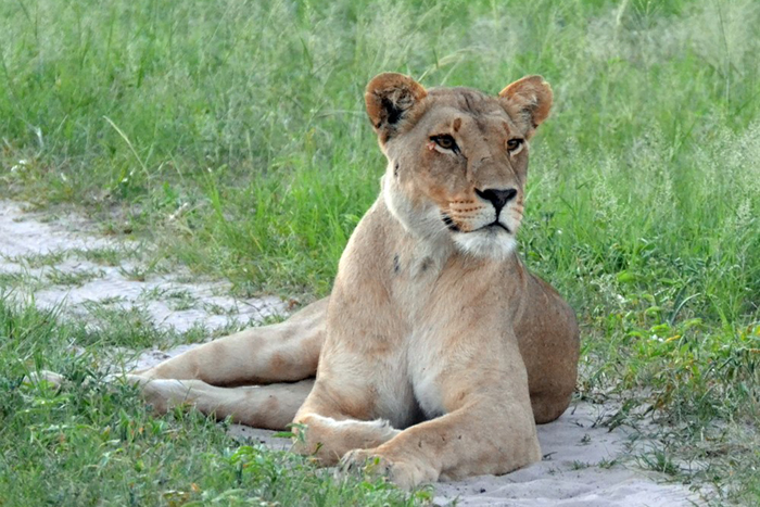 Lioness on safari Cheryl review