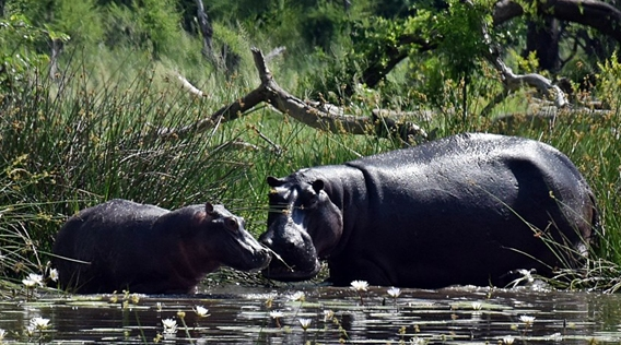 Hippo in Khwai river Cheryl review